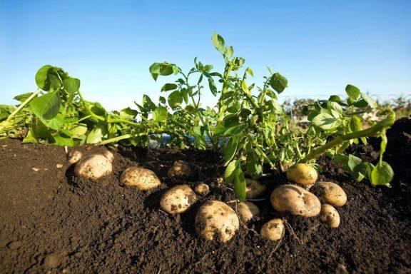 2130095-img-brambory