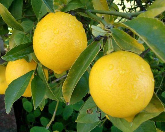 citrony